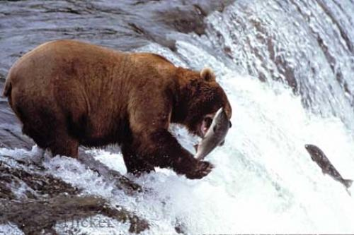 L'Alaska et ses ours