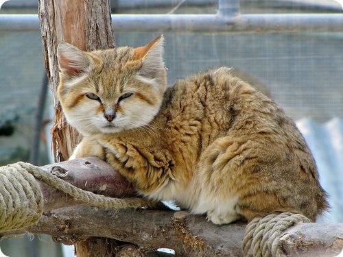 TOP 10 des plus belles races de chats