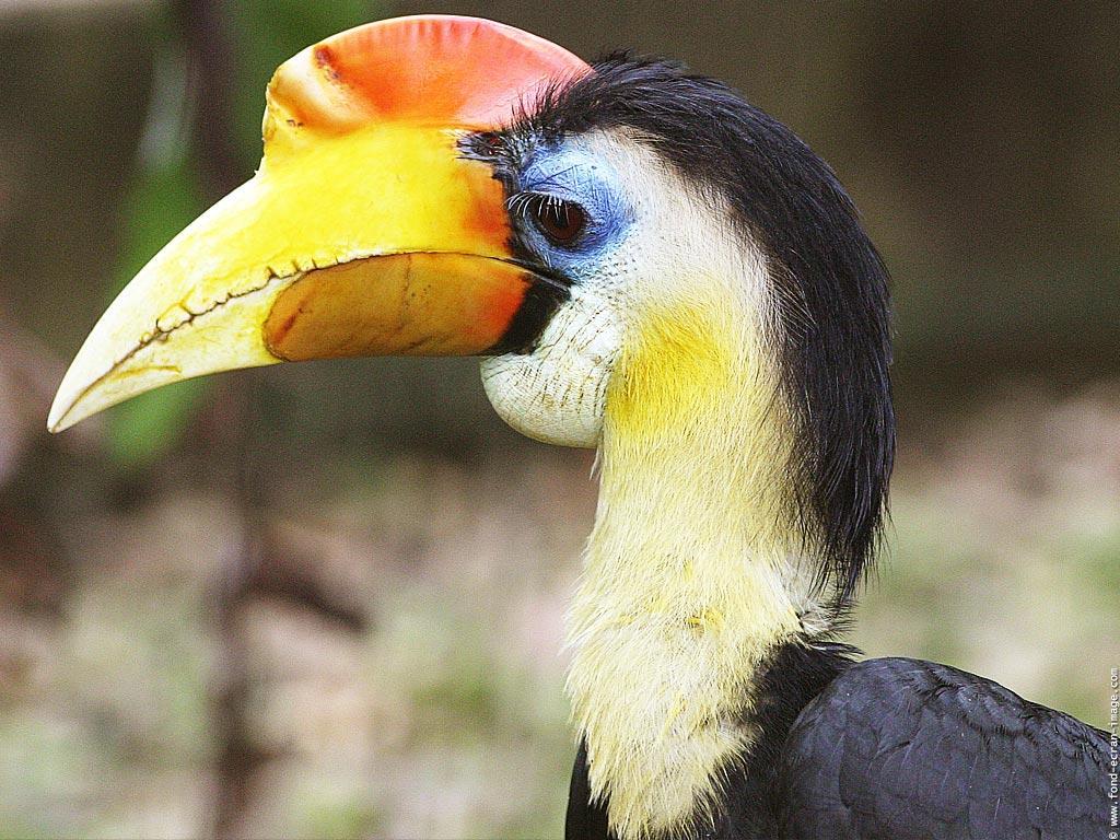 Le Calao: un amateur de fruits et de petits animaux