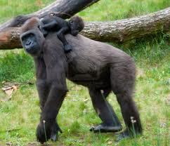 Les petits gorilles sont très dépendants de leur mère