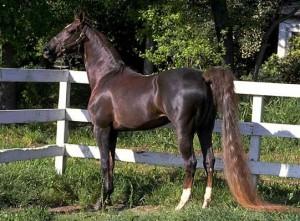 american_saddlebred