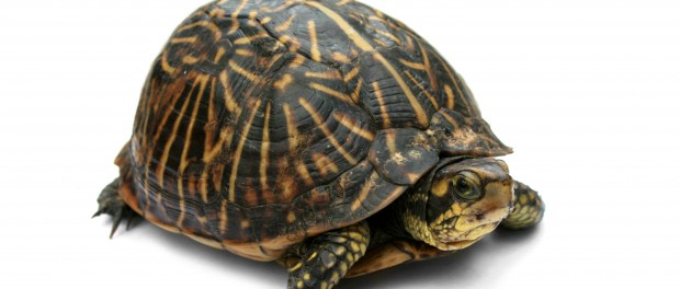 L'hibernation chez la tortue