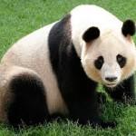 Le Saviez-vous ? Le Grand Panda…