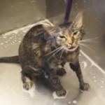 Une femme lave son chat, mais il lui «dit» quelque chose qui va la laisser sans voix!