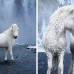 20+ images féeriques de chevaux islandais vivant dans des conditions extrêmes