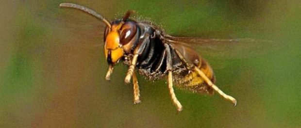 Vidéo : Quand 30 frelons massacrent une ruche de 30 000 abeilles…