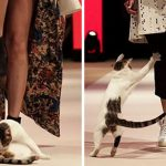 Quand un chat s'incruste dans un défilé de mode et commence à chercher la bagarre avec les mannequins