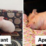 Ce couple pensait avoir adopté un mini-cochon et l'a gardé comme animal de compagnie même lorsqu'il a grandi et a atteint 295 kilos