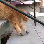 Un chat amputé a cause du froid obtient des membres bioniques (vidéo)