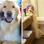 Ce golden retriever aveugle et sa meilleure amie chienne-guide font fondre le coeur des gens
