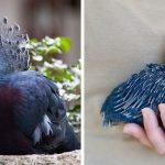 Le « Goura de Victoria » est l'un des plus beaux oiseaux du monde et peut atteindre la taille d'une dinde