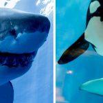 Une étude révèle que les dangereux requins blancs ont très peur des orques