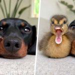 20 images sympas de canards pour égayer votre journée