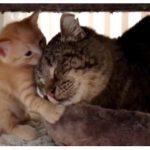 Quand des chatons adoptent un vieux chat sauvage. (Attention mignon)