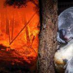 Australie : des centaines de koalas meurent dans les incendies qui ont frappé le pays